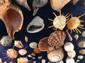 Different seashells in a dark background Royalty Free Stock Photo