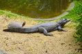 Tortoise and crocodile sunbathing together Royalty Free Stock Photo