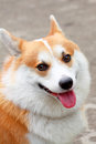 Picture welsh corgi smile Stock Photo