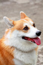 Picture welsh corgi smile Royalty Free Stock Photos