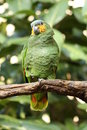 A picture of a yellow shouldered amazon Royalty Free Stock Photos