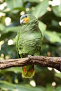A picture of a yellow shouldered amazon Royalty Free Stock Images