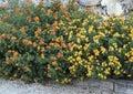 Bed Of Lantana Plants With Yel...