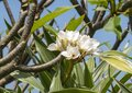 Closeup view small plumeria tree with white blossoms on the Big Island, Hawaii. Royalty Free Stock Photo