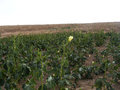 Pictures of okra plant on the field for commercials of fruit producers Royalty Free Stock Photo
