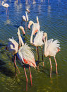 Picturesque birds communicate with each other the flock of pink flamingos exotic Stock Photos