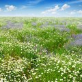 Picturesque field covered with grass, lavender, daisies Royalty Free Stock Photo