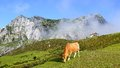 Picturesque nature landscape with cow picos de europa national park cantabria spain Royalty Free Stock Photo