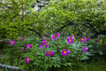 Picturesque park with wild peonies Royalty Free Stock Photo