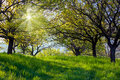 Picturesque spring garden background fresh leaves on trees and green grass with a bright shining sun Royalty Free Stock Photography