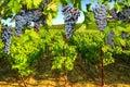 Grape plantation Napa valley Royalty Free Stock Photo
