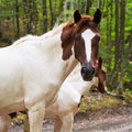 Piebald horse on forest road in caucasus mountains Stock Image