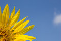 Piece of sunflower with blue sky yellow Royalty Free Stock Photo