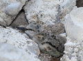 Pied avocet chick recurvirostra avosetta camouflaged between rocks Royalty Free Stock Photo