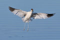 Pied Avocet flying over water Stock Photos