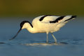 Pied Avocet, Recurvirostra avosetta, black and white wader bird in blue water, submerged head, France Royalty Free Stock Photo