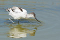 Pied avocet searching for food Royalty Free Stock Images