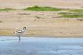 Pied avocet walking in water wading bird nature Stock Image