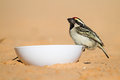 Pied barbet Stock Photo