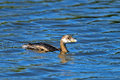 Pied-Billed Grebe Stock Image