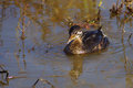 Pied billed grebe fishing pond Stock Image