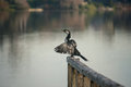Pied cormorant sitting on wooden railing Royalty Free Stock Photo