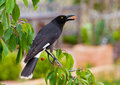 Pied Currawong steals cherry from tree Royalty Free Stock Photo