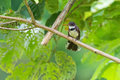 Pied Fantail Bird In Black And...