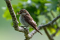 Pied flycatcher the female european ficedula hypoleuca ready to provide her nestlings some fresh insects in uppland sweden Stock Photography