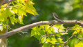 Pied flycatcher in shadows and lights a ficedula hypoleuca perches on the branch of a plane tree platanaceae while the wind moves Royalty Free Stock Photography