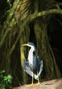 Pied heron with strangler fig trree in the background Stock Images