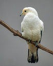 Pied imperial pigeon perched on a branch Royalty Free Stock Images