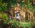 Pied Kingfisher Royaltyfria Bilder