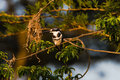 Pied Kingfisher Bird Sitting Royalty Free Stock Photo