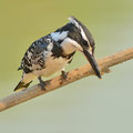 Pied kingfisher black and white bird ceryle rudis perching on a branch Stock Photography