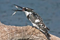Pied kingfisher catching a fish the ceryle rudis is water and is found widely distributed across africa and asia Stock Photography