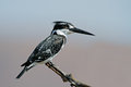 Pied kingfisher ceryle rudis perched on a branch south africa Royalty Free Stock Photos