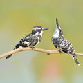 Pied kingfisher couple of bird ceryle rudis perching on a branch Royalty Free Stock Images