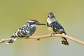 Pied kingfisher couple of bird ceryle rudis perching on a branch Stock Photography