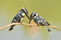 Pied kingfisher couple of bird ceryle rudis perching on a branch Stock Images