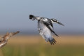 Pied Kingfisher diving from perch Stock Images