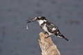 Pied kingfisher with a fish the ceryle rudis is water and is found widely distributed across africa and asia Royalty Free Stock Photo