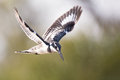 Pied kingfisher hover in flight to catch fish