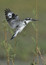 Pied kingfisher hovering over water photographed in southern africa Royalty Free Stock Photo