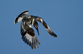 Pied kingfisher hunting an african moving from a hover to a dive when fish in a dam Stock Photography