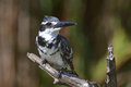 Pied kingfisher lookout sitting on branch at lake panic kruger national park south africa Stock Photos