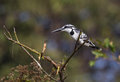 Pied kingfisher sitting on the branch Royalty Free Stock Photo