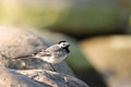 Pied wagtail on a rock motacilla alba boulder the beach Royalty Free Stock Photo