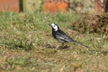 Pied wagtail view of a foraging in grass Stock Photography