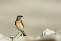 Pied wheatear in busaiteen beach bahrain the is a small insectivorous passerine bird Stock Images